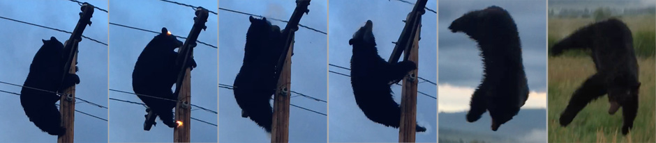bear electrocuted in South Valley August 2 2019